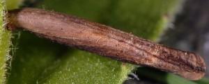 Coleophora perplexella f 4