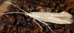 Coleophora pratella 2
