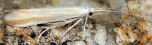 Coleophora pseudoditella 2