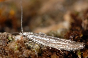 Coleophora ptarmicia 2
