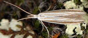 Coleophora pulchripennella 7