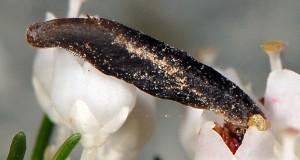Coleophora pulchripennella f 1