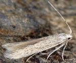Coleophora pyrenaica (I)