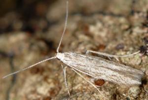 Coleophora pyrenaica 5