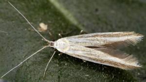 Coleophora quadristraminella 1
