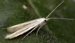Coleophora quadristraminella (I, G)