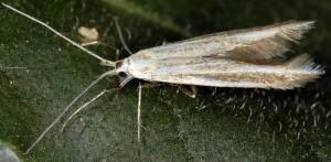 Coleophora quadristraminella 3