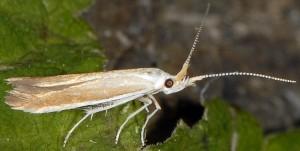 Coleophora ravillella 1