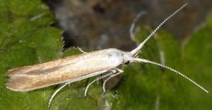 Coleophora ravillella 2