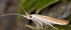 Coleophora ravillella 3