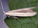 Coleophora ribasella (I, F)