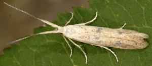 Coleophora salicorniae 2