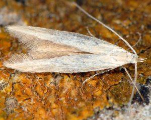 Coleophora-salinella-13-2