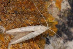 Coleophora-salinella-13-3
