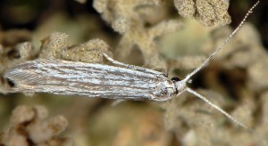 Coleophora santolinella 2