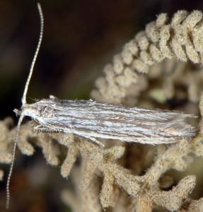 Coleophora santolinella 3