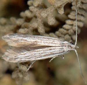 Coleophora santolinella 4