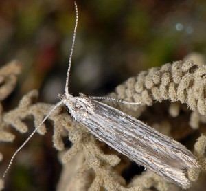 Coleophora santolinella 5