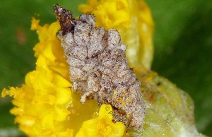 Coleophora santolinella f