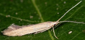 Coleophora saxicolella 1