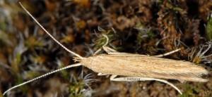 Coleophora saxicolella 2