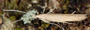 Coleophora saxicolella 3