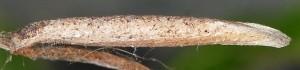 Coleophora settarii f 1