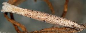 Coleophora settarii f 2