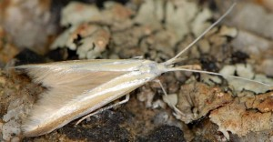 Coleophora solenella 5