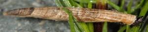 Coleophora solenella f 1