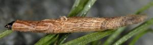 Coleophora solenella f 3