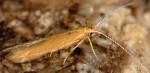 Coleophora solitariella (I, F)