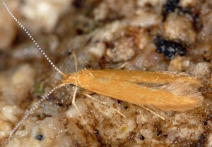 Coleophora solitariella 3