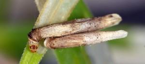 Coleophora solitariella f 1