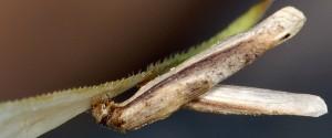 Coleophora solitariella f 3