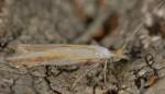 Coleophora spumosella (I, F)