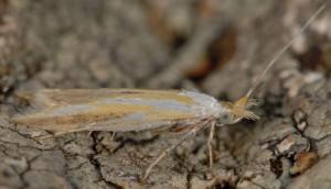 Coleophora spumosella 1