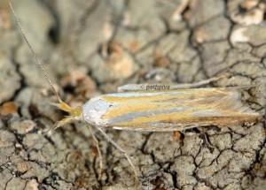 Coleophora spumosella 2