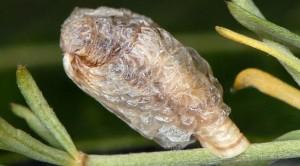 Coleophora spumosella f 1