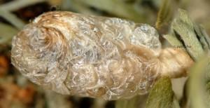 Coleophora spumosella f 2