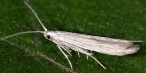 Coleophora striatipennella 1