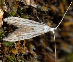Coleophora strigosella 2
