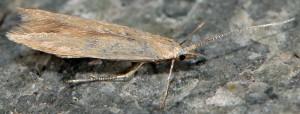 Coleophora sylvaticella 2