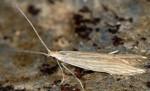 Coleophora taeniipennella (I)