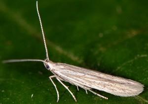 Coleophora tanaceti 1