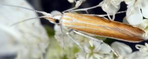 Coleophora telonica 2