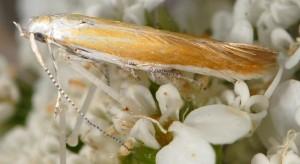 Coleophora telonica 5