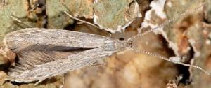 Coleophora texanella 3