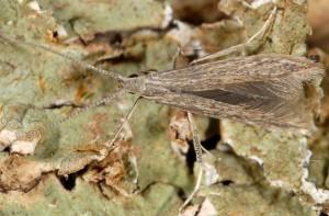 Coleophora texanella 4