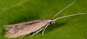 Coleophora texanella 5